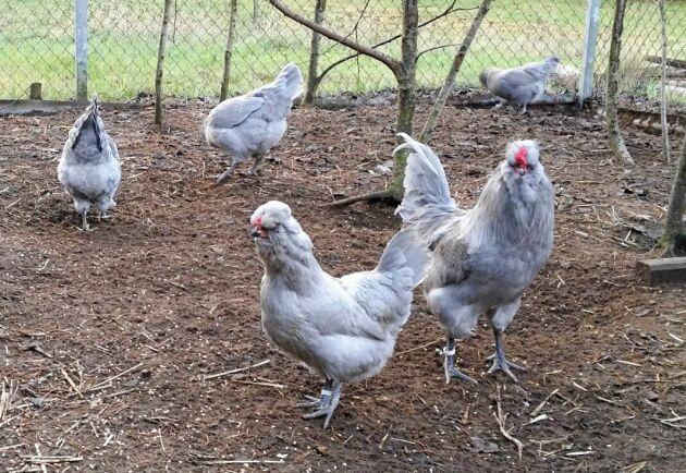 Engelsk Aracuana har oftast den här grå färgen som kallas lavendel. Äggen är där emot gröna.