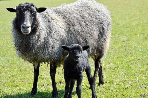 Gotlandsfår som ger både kött och skinn.