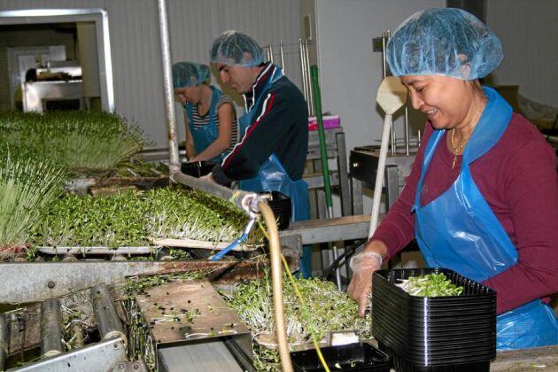 Produktionen är på väg tillbaka hos Nyttogrönt som förra sommaren fick en hård smäll av ett tyskt ehec-larm. Orachon Mem Olsson är en av åtta anställda.