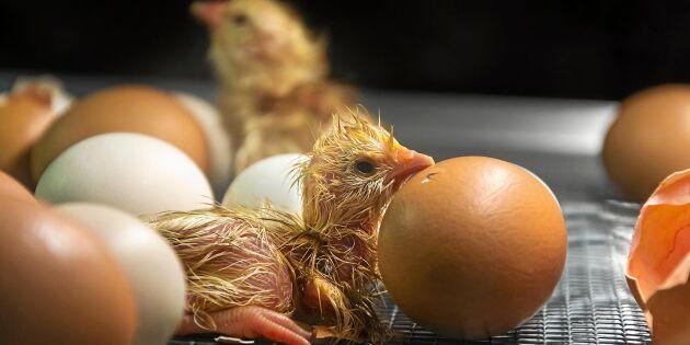 Så kläcker du kycklingar i maskin