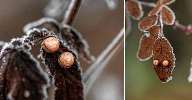 Antingen lackas kvist-delarna med färg eller så används en transparent lack så att man fortfarande kan se årsringarna, kärnan, splint och märg.