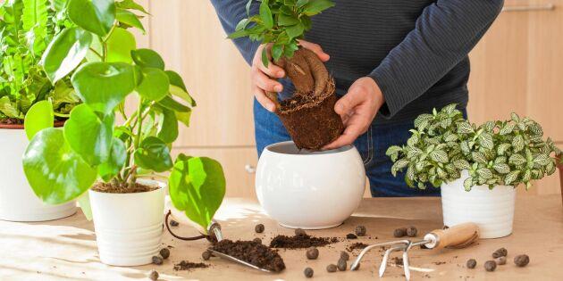 Guide: Så planterar du om dina krukväxter