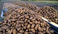 Sämre potatisskörd än i fjol