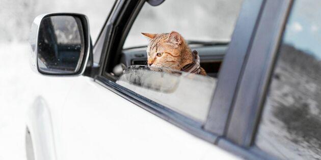 Katten i bilen – det här är reglerna du måste ha koll på!