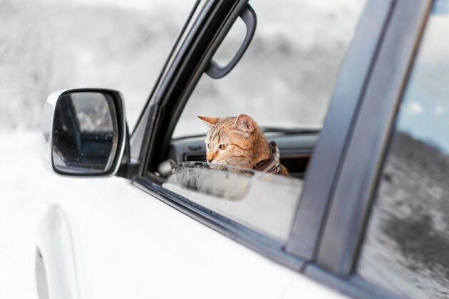 Missen vill också ut på äventyr men vilka regler gäller när katten åker med dig i bil? Så här säger Jordbruksverket.