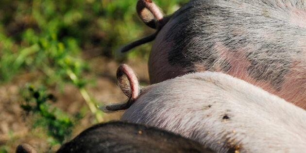 Svinslakt minskar i Jämtland