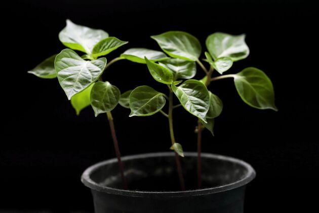 Chiliplantor vill börja tidigt och behöver mycket ljus. En bra tumregel är: Ju starkare chili, desto tidigare sådd.