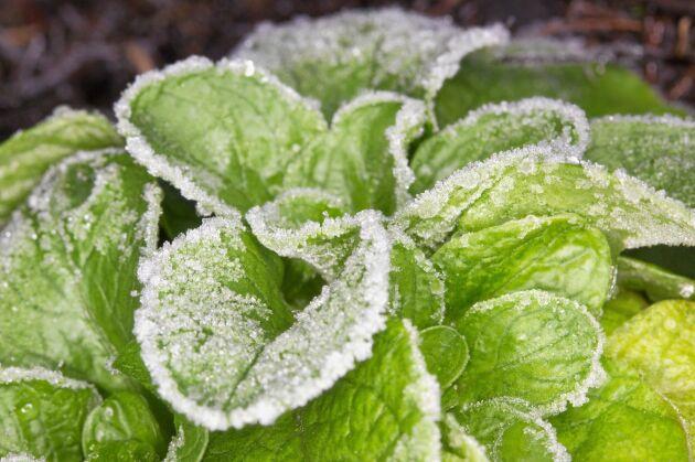 Vintersallad kan skördas i snön.