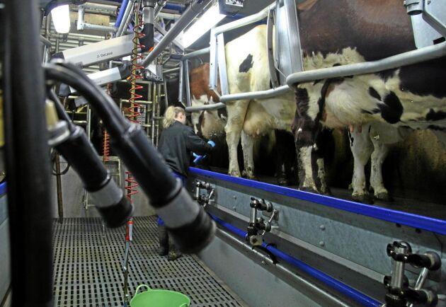 Höjda råvarupriser pressar många mjölkföretag i hela Europa just nu. Arla Foods ordförande är bekymrad över läget (arkivbild).