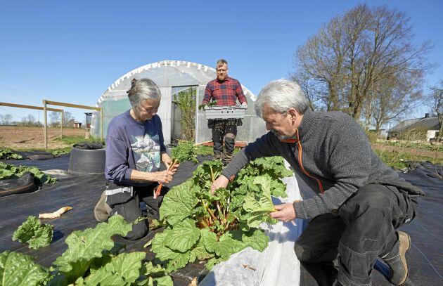 Svärföräldrarna Lena Vought och Sean Lacoursiére tillsammans med Johan Widing skördar glasrabarber som växt under svarta plasthinkar på täckodling.