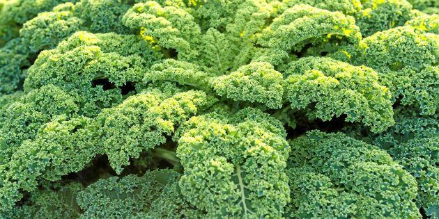 Så enkelt och lätt odlar du din egen grönkål