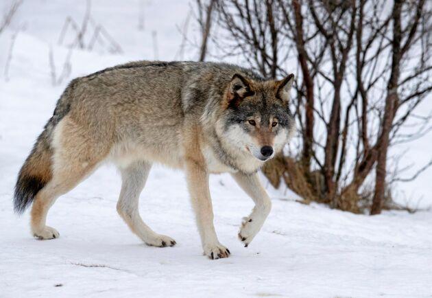 Flera personer misstänks ha dödat varg och lodjur illegalt i jaktbrottshärvan i Västmanland. Arkivbild.