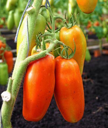 Plommontomat 'Gennaro' går bra att odla i kruka på uteplatsen.