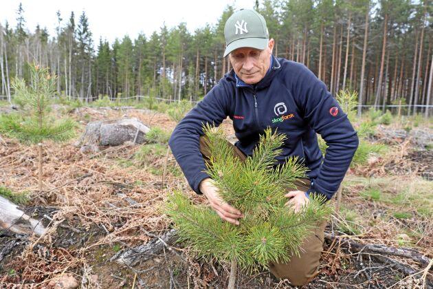 Karl-Anders Högberg på Skogforsk kartlägger problemet med buskiga tallplantor och ska försöka ta reda på vad det beror på.