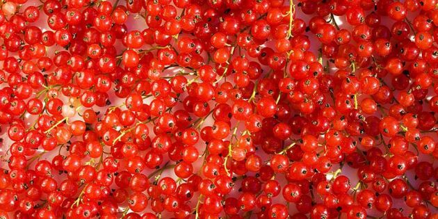 Vinbärsfrossa – nu är det dags att safta och sylta