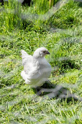 Höns i trädgården bidrar med trivsamt kackel och ägg. Hemma hos Rundqvists är det en flock Hedemorahöns som huserar i hönsgården.