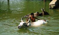 Indiska gamar ökar efter förbud