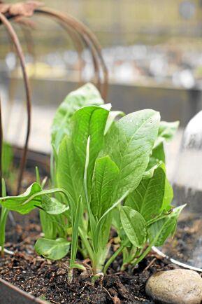 Spenatskräppa (Rumex patientia) Kommer till och med tidigare än nässlorna. Unga blad används som spenat vår och försommar. Bladen får snabbt ansenlig storlek och passar att fylla till spenatskräppdolmar. Bladstjälkarna påminner i smak om rabarber eller selleri och kan också användas på samma sätt. Soligt läge. Om man låter den ståtliga fröställningen utvecklas försämras bladkvalitén och man kan få frösådder på barjord. Foto: Anette Brunsell.