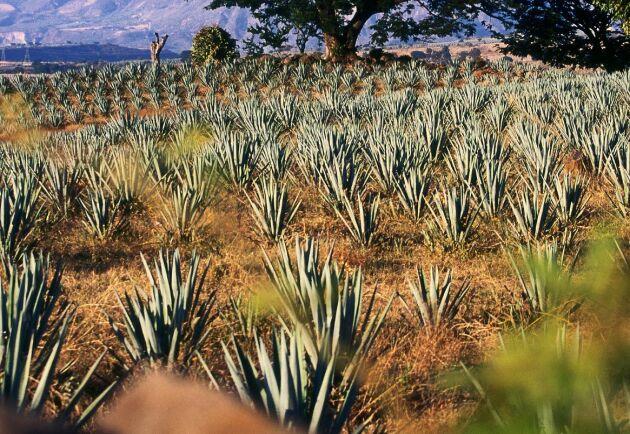 Ford kommer att börja använda rester av agave-växter som används vid tequila-destillation.