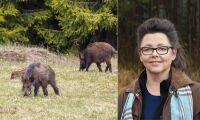 Fokus på helhet i ny rapport om vildsvinskött