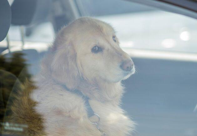 Varma bilar – en dödsfälla för hunden.