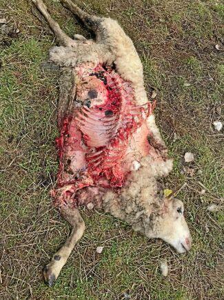 Ett av de dödade fåren var mer eller mindre uppätet av vargarna.