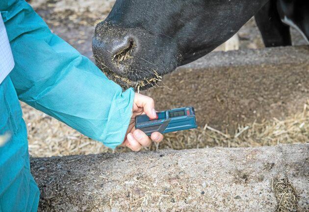Bättre rutiner och mer lättarbetade stall är nyckeln till att hålla nötkreatur rena. Det visar ett projekt som presenterades vid den årliga djurskyddskonferensen. Arkivbild.