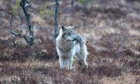 Ger grönt ljus – vargen i Skåne får skjutas