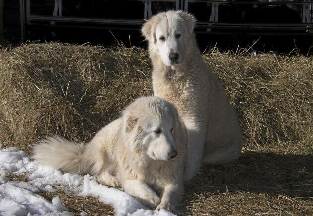 Boskapsvaktarna, här Maremmano abruzzese, har sin lojalitet hos djuren och ska inte användas som sällskapshundar.