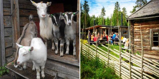 Sveriges bästa sommarjobb? Djurälskande volontär sökes till fäbod i Järvsö!