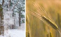 Risk för snö i norr –med mycket otröskat