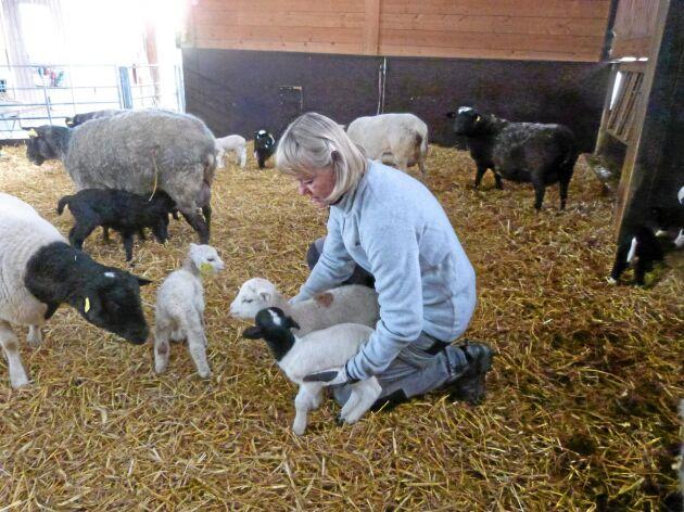 """""""Lamningarna måste vara lätta eftersom den lever i stora flockar på upp till 1000 djur. Då kan man inte övervaka varje tacka individuellt utan de lammar ute på bete"""", säger Lolo Sörelius."""