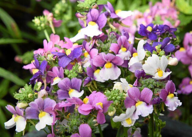 Doftnemesia 'Seventh heaven' F1 har ett utbrett växtsätt som passar i amplar och samplanteringar i kruka. Blommar rikligt i rosa, vitt och violett, en del blommor är tvåfärgade. Förodlas i mars-april. Blommar i juni-augusti. Höjd 40 cm. Impecta.