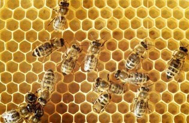 Amerikansk yngelröta sprider sig bland bin i Västmanland.