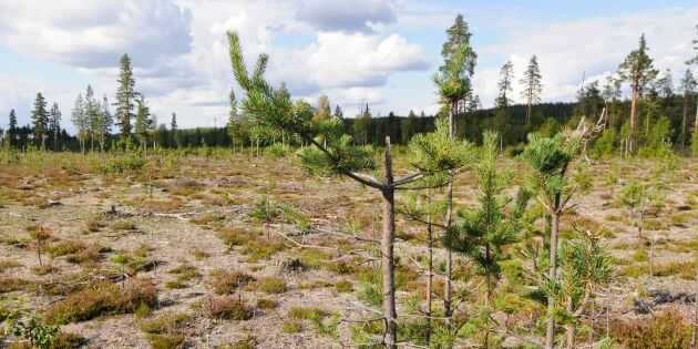 Dålig ungskog sänker tillväxten i norr