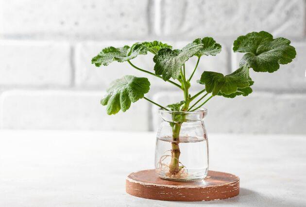 Arvegods på tillväxt. Pelargonen är lätt att föröka.