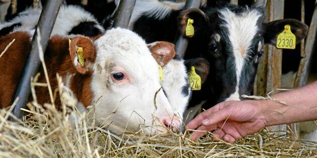 Ny faktasajt ska lyfta kalvhälsan