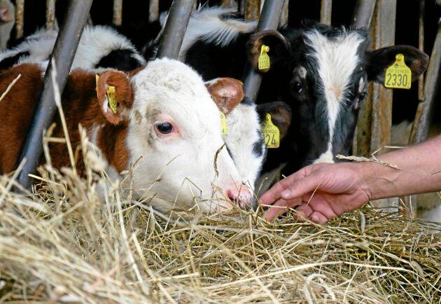 """På Kalvportalen handlar innehållet om kalvens hälsa och skötsel. """"Vi hoppas kunna vara med och ta död på en del myter. Målet är att det ska vara lätt att hitta och leta efter information. Fler ska få upp ögonen för att det ska finnas mer vetenskap om kalvar"""", säger veterinären Åsa Lundberg på Växa som varit med och tagit fram sajten."""