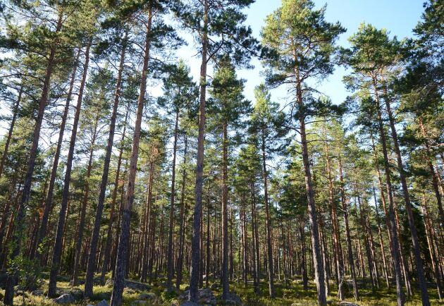 """Förmögna köpare handlar en skogsinvestering sällan om enbart skogsbruksavkastning – utan också om """"härligshetsvärden""""."""