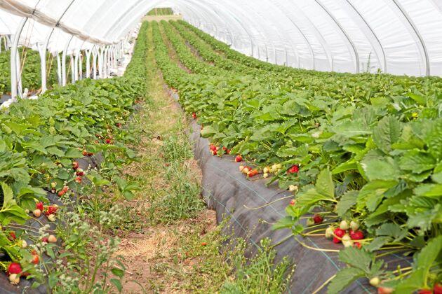 Eriksgården odlar totalt nio jordgubbssorter, på bilden syns storsäljaren Malling Centenary.