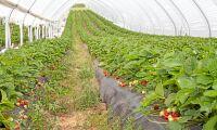 Ingen dispens för växtskyddsmedel i jordgubbar