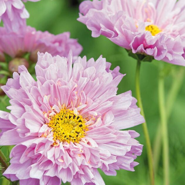 Rosenskäror ger väldigt många blommor per sått frö.