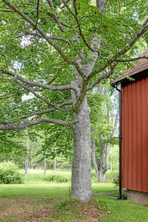 Boken har en luftig krona med grenar som växer nästan rätt ut från stammen. Det gör grenarna hållbarare än om de växer mer upprätt så att grenvinkeln blir spetsigare, något som är vanligt hos till exempel skogslönn. Foto: Agneta Bergström