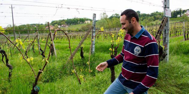 Vingårdar kan vara räddningen för unga italienare