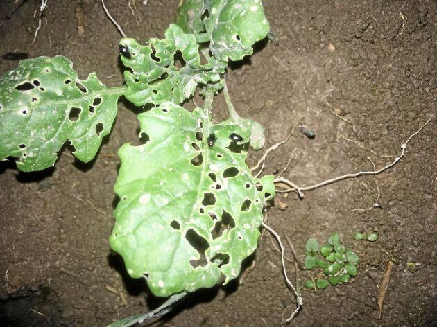 Förekomsten av rapsjordloppa har ökat i Västsverige. Den är 4-5 mm lång, vilket är relativt stort för en loppa.