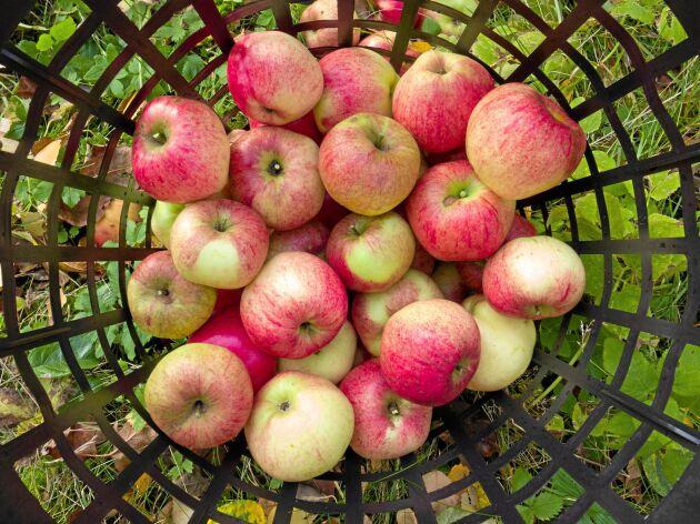 Självförsörjningsgraden på äpplen är endast 20 procent.