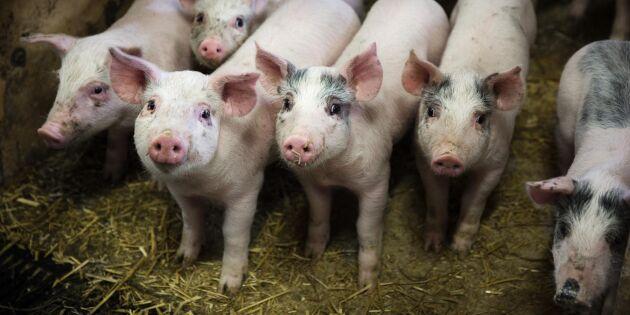 Flera skånska gårdar drabbade av salmonella