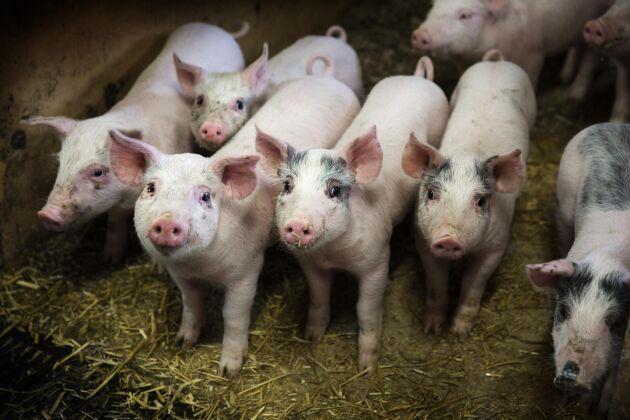 Flera grisgårdar i Skåne har drabbats av salmonella. Grisarna på bilden har inget med texten att göra (arkivbild).