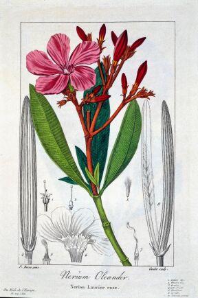 Nerium växer vilt i medelhavsområdet.
