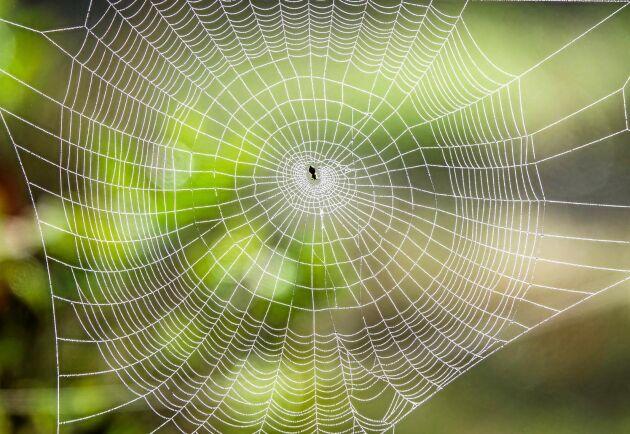 Att döda en spindel gör att det blir regn. Eller?